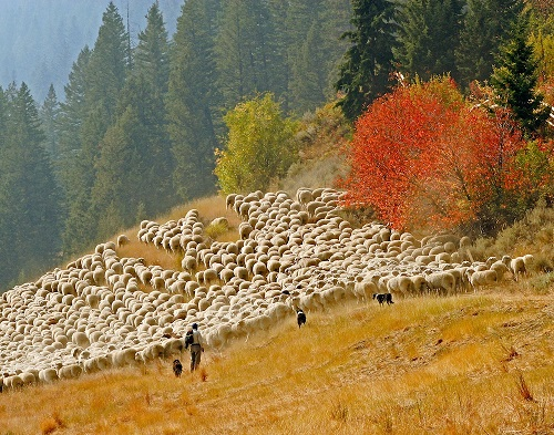 MICHAEL EDMINSTER Indian Summer with the sheep-red