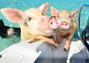 Bahamas Ministry of Tourism's statement on The Swimming Pigs